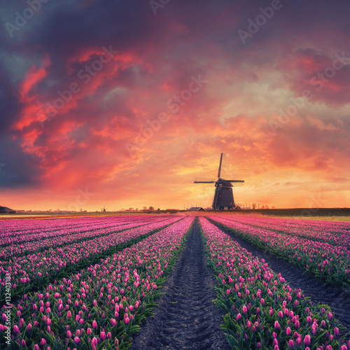 Dawn over Field of Tulip and Windmill Billede på lærred