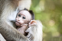 Love Care Maternity Concept. Family Portrait Of Macaque Monkeys In Wild. Small Baby Breast Feeding. Animal In Wild, South India