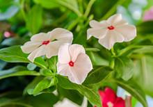 White Impatiens Flowers, Green...