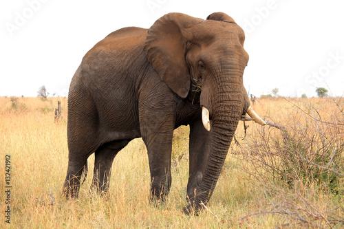 Fotografie, Obraz  African elephant