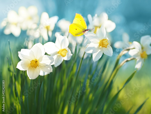 Beautiful daffodils on sunshine against blue sky spring background. Yellow butterfly on flower of narcissus in spring sun shines in summer outdoors. Colorful sweet tender romantic airy artistic image