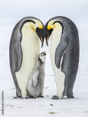 Cuadros en Lienzo Emperor Penguins on the frozen Weddell Sea