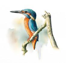 Wetland Birds, King Fisher