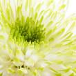Chrysantheme - Nahaufnahme