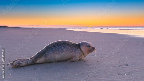Fototapeta premium Foka na plaży