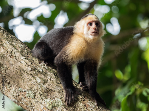 Photo  White-headed capuchin