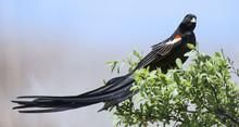 Long-tailed Widowbird Sitting ...