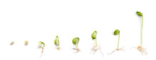 Sequence Of Bean Plant Growing...