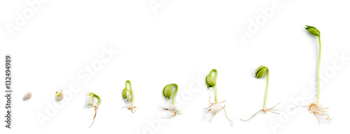 Sequence of bean plant growing experiment for child isolated on white background.