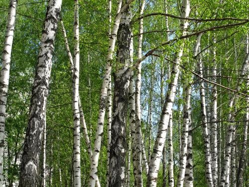 Tuinposter Berkbosje Beautiful spring birch