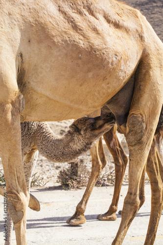 Camel baby (calf) suckling mother in Dhofar, Oman