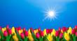 Tulpenfeld im Frühling mit Sonnenschein