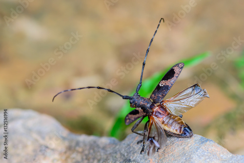 Fotografie, Obraz  Long-horned Beetles(Cerambycidae), beautiful insect in deep forest,Thailand