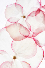 Fototapetahydrangea petals isolated
