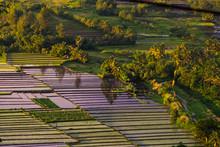 Rice Field In Philippine