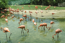 Group Of Orange Flamingos  In A Pond In Xcaret, Quintana Roo, Mexico.