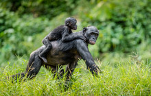 Bonobo Cub On The Mother's Back . Green Natural Background In Natural Habitat. The Bonobo ( Pan Paniscus), Called The Pygmy Chimpanzee. Democratic Republic Of Congo. Africa