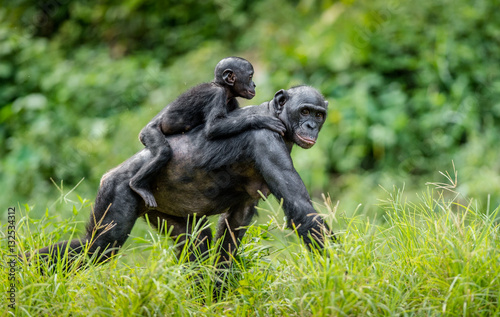 Canvas Print Bonobo Cub on the mother's back