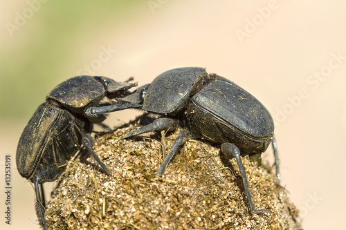 a pair of dung beetles scarabaeidae coleoptera and their dung