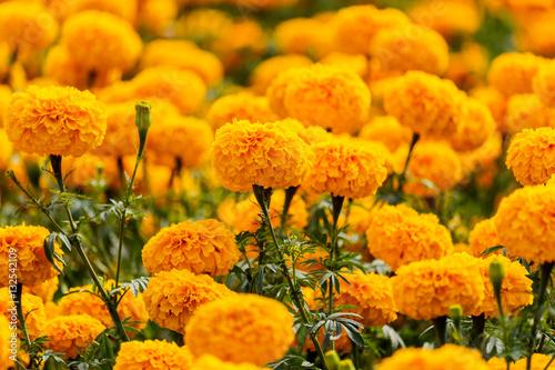 Fotografía  Marigolds flowers in the garden