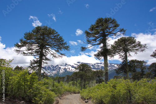 Photo the road in the wood of Araucaria araucana trees in the Conguillío National Park