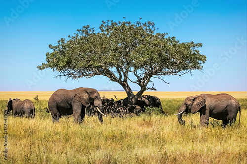 African elephants under the tree in the savannah. Tanzania.