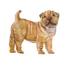 Watercolor Portrait Of Red, Apricot Dilute Shar Pei Puppy Breed Dog Isolated On White Background. Hand Drawn Sweet Pet. Bright Colors, Realistic Look. Greeting Card Design. Clip Art. Add Your Text