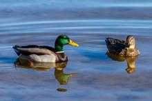 Pair Of Mallard Ducks (drake & Hen) Swimming Together On Roosevelt Lake, Arizona