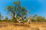Fototapeta Sawanna - Dirt country road,cajuput tree, paper bark tree, swamp tea tree, Melaleuca cajuputi Powell, Myrtaceae