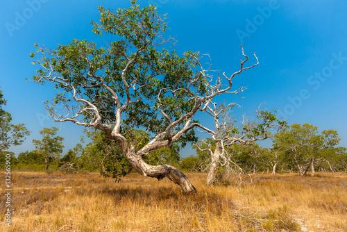 Dirt country road,cajuput tree, paper bark tree, swamp tea tree, Melaleuca cajuputi Powell, Myrtaceae