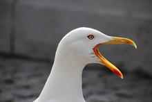 A Big Sea Gull In Porto, Portu...