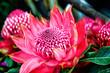 canvas print picture - Waratah Protea - Teleopea speciosissima inflorescence  - Austral