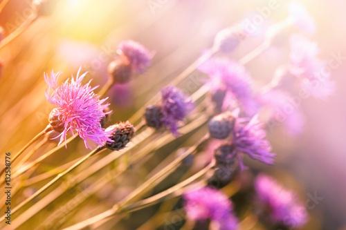 Cuadros en Lienzo Flowering thistle (burdock) - beautiful flowering, blooming wild flower in meado