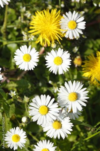 Photo  Gänseblümchen auf einer Wiese