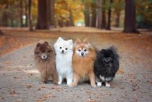 Pomeranians Autumn