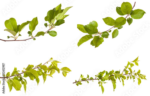 Fotografia apple-tree branch with green leaves. Isolated on white backgroun