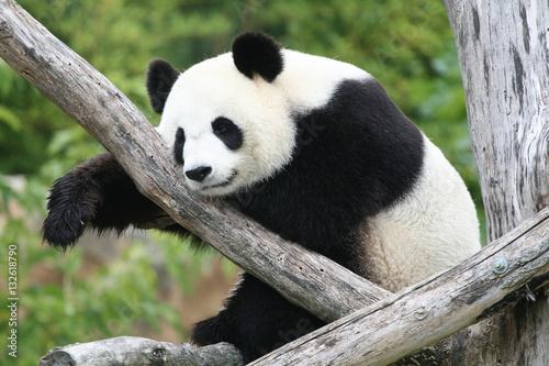 Stickers pour portes Panda Panda Géant
