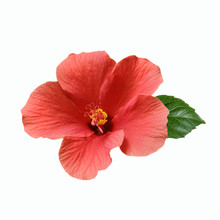 Pink Hibiscus Flowers And Buds