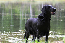 Flat Coated Retriever By The L...