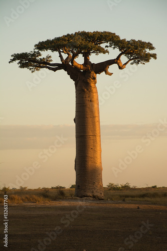 Ingelijste posters Baobab Baobab on Sunset