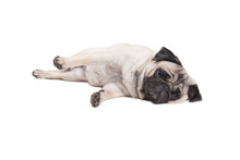 Lovely Cute Pug Puppy Dog Lying Down On Floor, Isolated On White Background