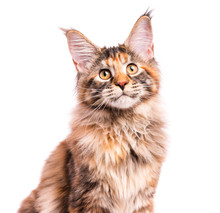 Portrait Of Domestic Tortoiseshell Maine Coon Kitten. Fluffy Kitty Isolated On White Background. Close-up Studio Photo Adorable Curious Young Cat Looking Away.