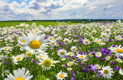 Photo Stands Landscapes summer landscape with blossoming meadow and flowers