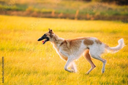Fotografia Russian Dog, Borzoi Running In Summer Sunset Sunrise Meadow Or Field