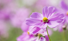 Cosmos Flowers In Pink Color