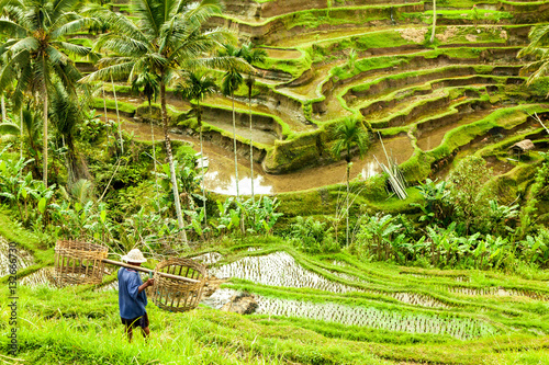 Foto op Canvas Bali bali Rice fields ubud indonesia