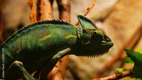 Foto auf AluDibond Chamaleon Kameleon,zwierzę