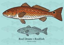 Red Drum, Redfish. Vector Illu...