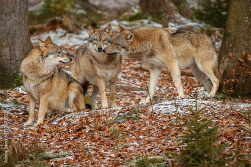 Obraz na plátně Eurasian wolfpack in nature habitat in bavarian forest, national park in eastern