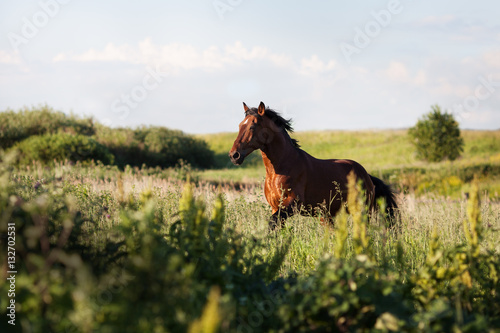 The horse gallops on the field among the grass in the summer